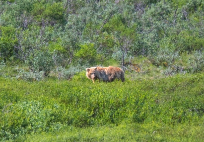 Brown Bear in Denali NP, AK