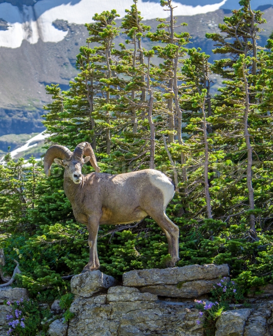 Bighorn Sheep, Glacier National Park, MT