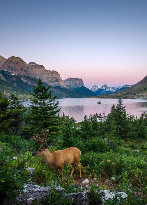 Mule Deer, Glacier National Park, MT