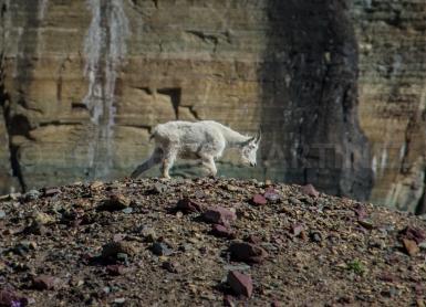 Mountain Goat, Glacier National Park, MT