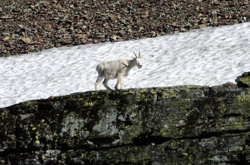 Mountain Goat, Glacier National Park, MT