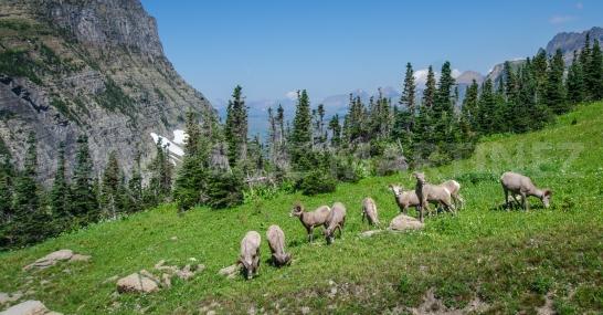 Bighorn Sheep, Glacier National Park, MT
