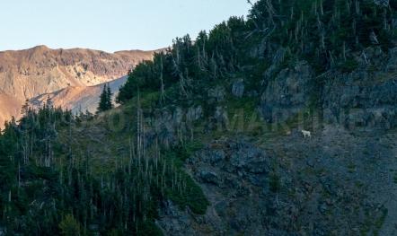 Mountain Goat, WA